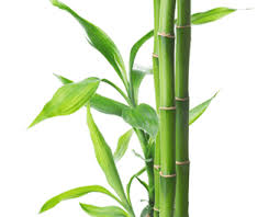 Bamboo: Fragrance Oil for Men
