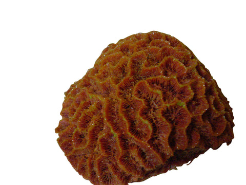 artificial corals maze brain coral