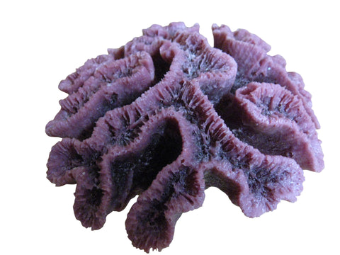 #260 Open Flower Brain Coral