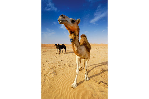 Camel in UAE Desert
