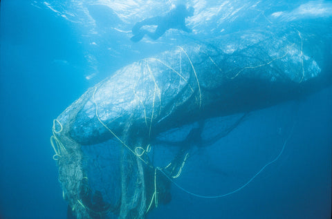 by catch whale caught in net