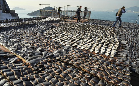 Shark fins laid out to dry in the sun on the roof of a factory building in Hong Kong. Photo taken on January 2nd, 2013. Hong Kong has one of the largest markets for shark fins.
