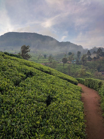 The beautiful tea hills of Pedro Tea Factory in Nuwara Eliya, Sri Lanka
