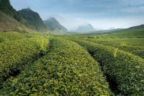 Chinese Tea Producers Hit by the Coronavirus Crisis