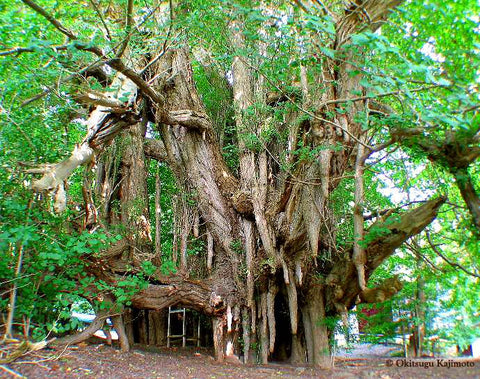 Japan's biggest Ginkgo tree  Kita kanegasawa aza shiomigata,  Fukaura town, Nishitsugaru country  natural monument, girth 22 m, many chichi, over 1,000 years old  photo ©  Okitsugu Kajimoto