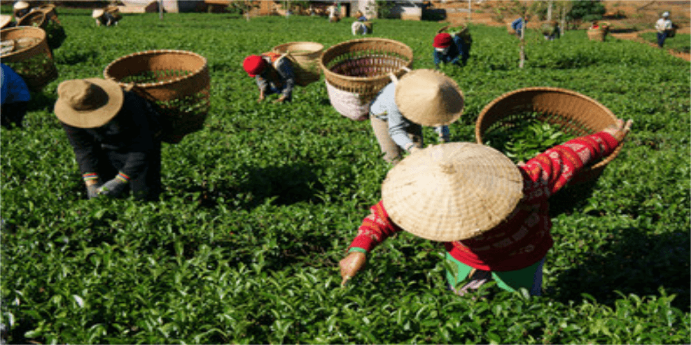 Harvesting the Tea