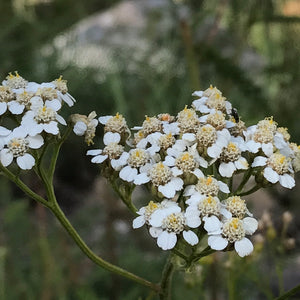 Wild Yarrow Flower Essence