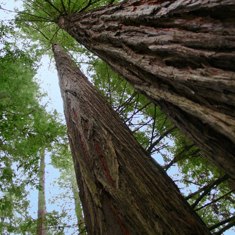 Q169 - Old Growth
