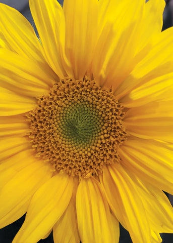 Q209 -  Sunflower