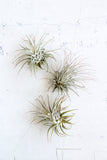 Extra Small Airplant