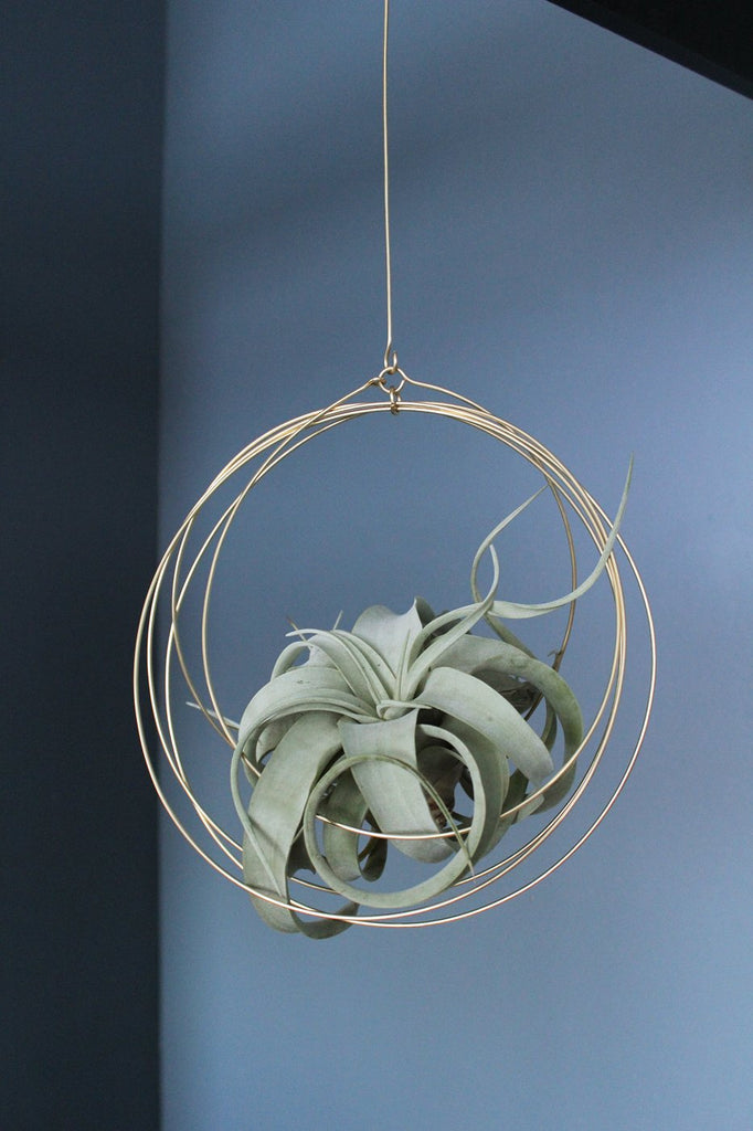 Xerographica Tillandsia + Brass Ornament