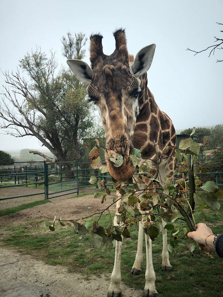 Aspinall Foundation Giraffe