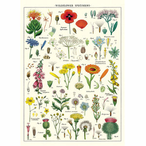 Wildflower specimens Wrapping Paper / Poster
