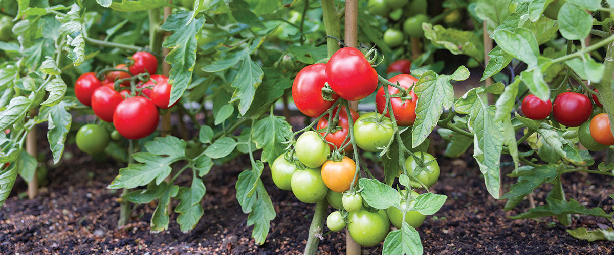 A Summer Garden Guide to Tasty Tomatoes