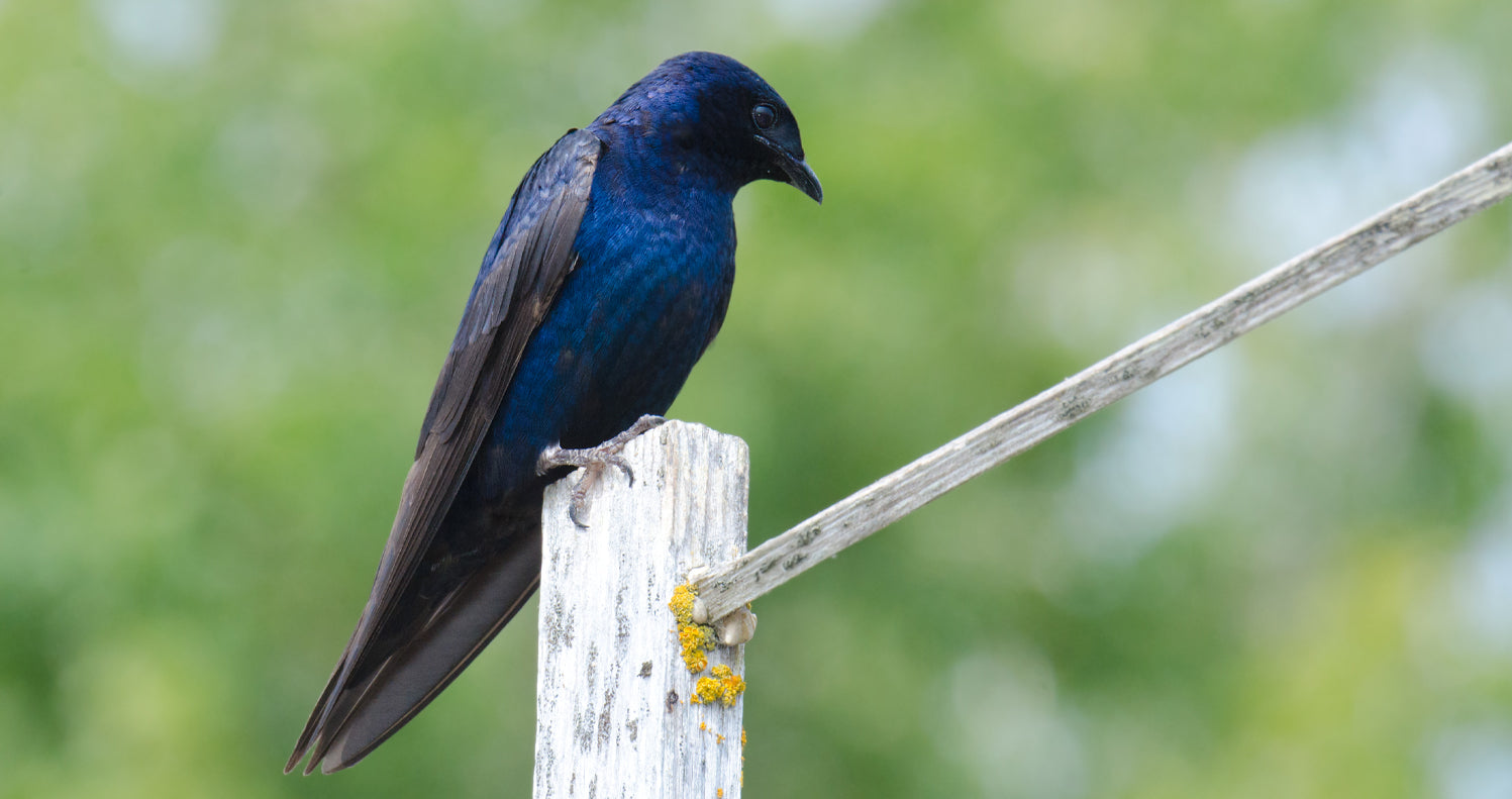 Entice purple martins for powerful pest control