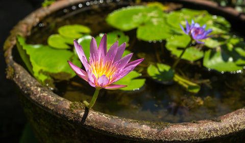 Pond in a pot: water gardening tips for a peaceful backyard