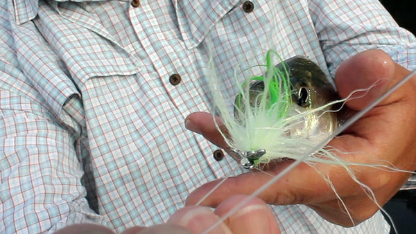 Fish-Skull Shrimp & Cray Tail fly striped bass