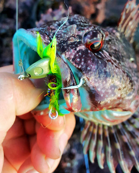 Blue cabezon fly fishing