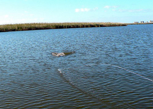 fly line goes tight redfish