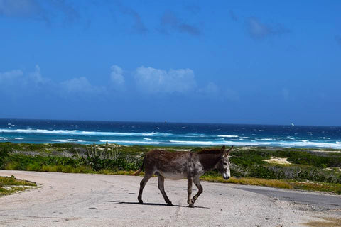Donkey in Aruba
