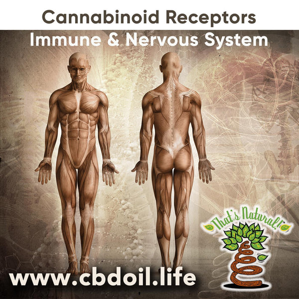 Cannabinoid Receptors in the Endocannabinoid System - found in the Nervous System and Immune System - www.cbdoil.life