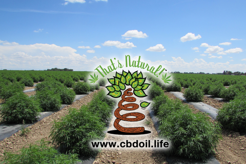 That's Natural hemp fields in Colorado - www.cbdoil.life