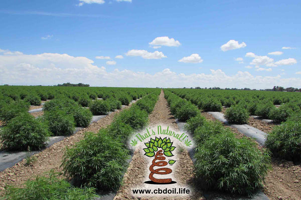 That's Natural fields of hemp in Colorado - Pure, Potent, Trusted.  www.cbdoil.life