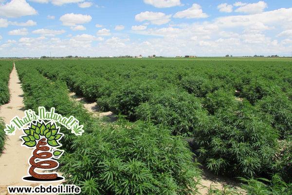 Baby Hemp Plants in Hemp Field - La Junta, Colorado - from That's Natural at www.cbdoil.life