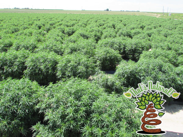 That's Natural CBD Oil - hemp fields in Colorado