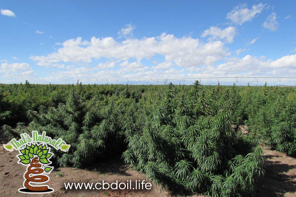 That's Natural farms and farmers - Premium CBD Oil products from hemp - full spectrum CBD-rich hemp oil from That's Natural, legal in all 50 States at www.cbdoil.life and www.thatsnatural.info