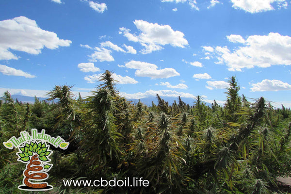 Hemp Plants in Hemp Field - San Luis Valley, Colorado - from That's Natural at www.cbdoil.life