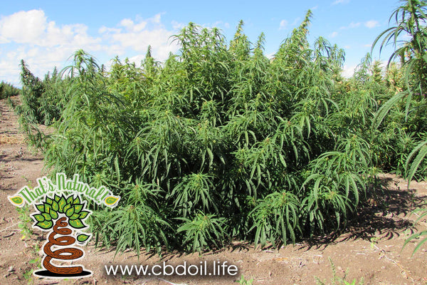 www.cbdoil.life - That's Natural CBD Oil from organic, biodynamic hemp grown in Colorado