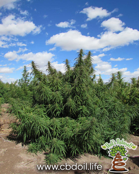 That's Natural CBD Oil from hemp - legal in all 50 States - Hemp Farms in Colorado at www.cbdoil.life