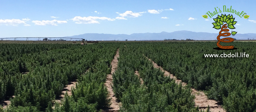 Colorado hemp plants in a field in the San Luis Valley of Colorado.  That's Natural CBD Oil from hemp is legal in all 50 States - full spectrum of cannabinoids and terpenes at cbdoil.life