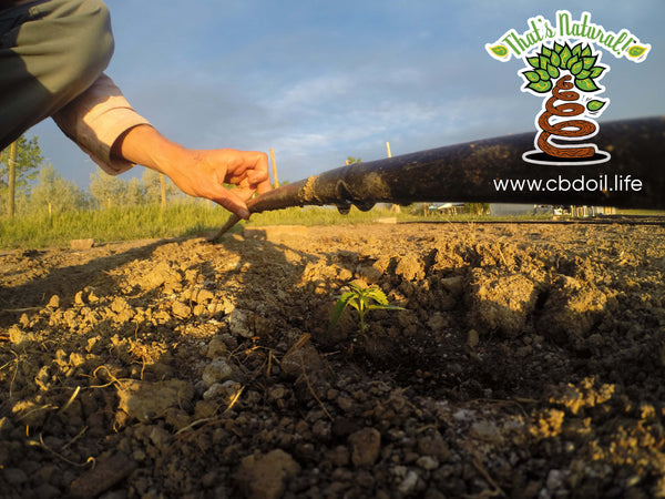 Baby Hemp Plants in Hemp Field - Paonia, Colorado - from That's Natural at www.cbdoil.life