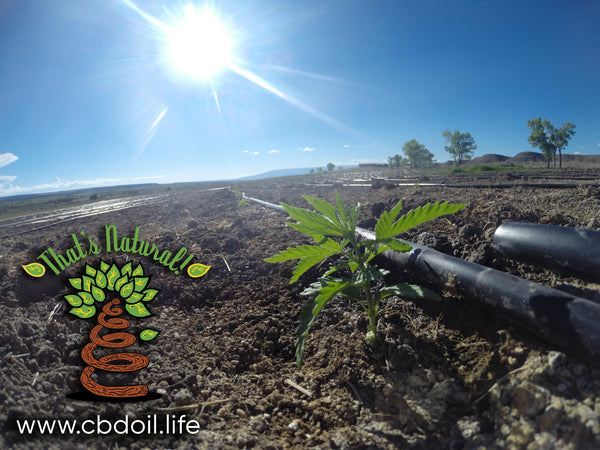 CBD-Rich Hemp Plants in Paonia, Colorado - Pure, Potent, Trusted - That's Natural! at www.cbdoil.life