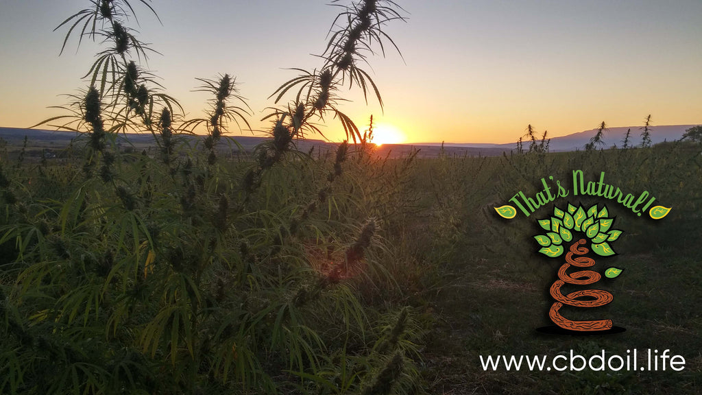 Colorado hemp plants in a field in the Arkansas Valley of Colorado.  That's Natural CBD Oil from hemp is legal in all 50 States - full spectrum of cannabinoids and terpenes at cbdoil.life