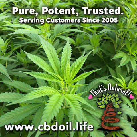 most trusted CBD, family-owned CBD company, legal hemp CBD, hemp legal in all 50 States, hemp-derived CBD, Thats Natural topical CBD products, CBDA, CBDA Oil, Life Force with biodynamic Colorado hemp - That's Natural CBD Oil from hemp - whole plant full spectrum cannabinoids and terpenes legal in all 50 States - www.cbdoil.life, cbdoil.life, www.thatsnatural.info, thatsnatural.info, CBD oil testimonials, hear from customers of CBD oil products