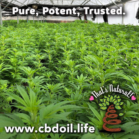 Is more CBD good for you?  Is more CBD better? Is CBD isolate better? Is Raw CBD Better? Hemp-derived CBD Oil from That's Natural - CBDA Oil, Full of the naturally occurring cannabinoids and terpenes that nature had intended!  The best CBD Oil on the market - experience the Entourage Effect and truly holistic healing. Pure, Potent, Trusted at cbdoil.life and www.cbdoil.life - Thats Natural topical CBD products, CBD spa products, CBD muscle jelly, CBD face lotion, CBD face creme, CBD body lotion, CBD salve, CBD lube Dr. Axe CBD, CBD Distillery - legal hemp CBD at thatsnatural.info