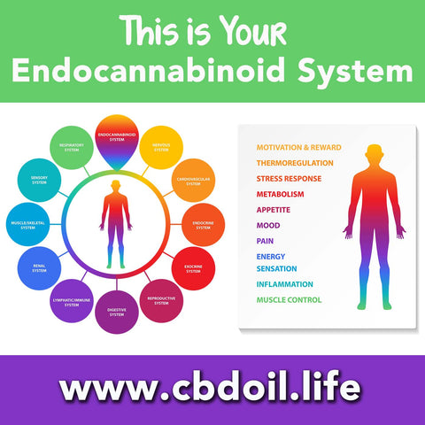 Endocannabinoid System ECS and endocannabinoid deficiency - CBDA, CBDA Oil, CBDA creme, CBDA cream, CBDA for pain, CBDA for anxiety - That's Natural full spectrum CBD oil products with cannabinoids and terpenes - experience the entourage effect with Thats Natural CBD Oil, legal hemp CBD, hemp legal in all 50 States, CBD, CBDA, CBC, CBG, CBN, Cannabidiol, Cannabidiolic Acid, Cannabichromene, Cannabigerol, Cannabinol; beta-myrcene, linalool, d-limonene, alpha-pinene, humulene, beta-caryophyllene - find at cbdoil.life and www.cbdoil.life