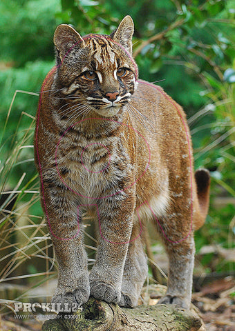 Group 3 Asian Golden Cat