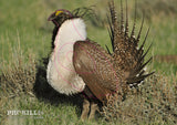 Left facing Greater Sage-Grouse Strutts Target Face. Pacific Southwest Region / CC BY 2.0