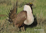 Right facing Greater Sage-Grouse Strutts Target Face. Pacific Southwest Region / CC BY 2.0