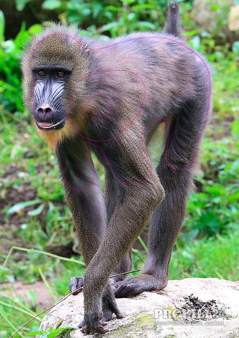 Group 3 Mandrill