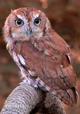 Group 4 Eastern Screech Owl