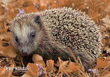 Group 4 Common Hedgehog