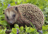 Left facing Common Hedgehog Target Face. Michael Gäbler / CC BY 3.0