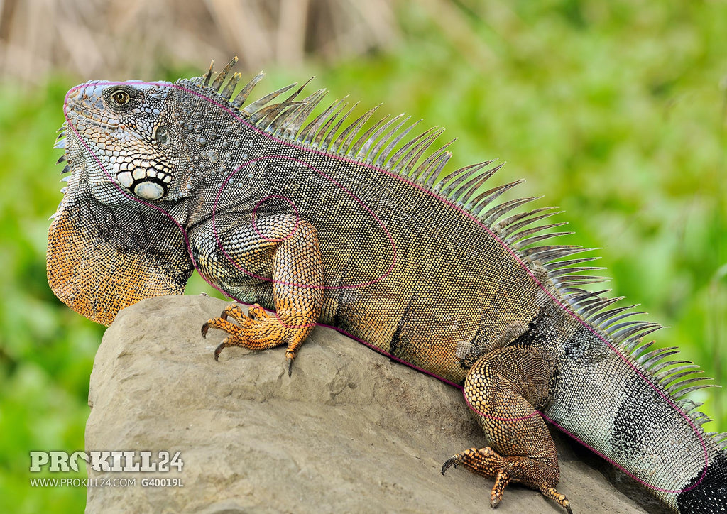 Left facing Wild Green Iguana Target Face. Cayambe / CC BY-SA 3.0