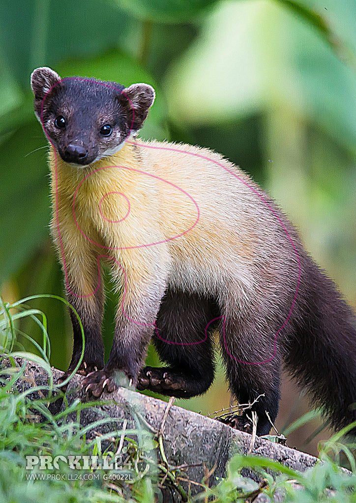 Left facing Yellow-Throated Marten Target Face. Rushenb / CC BY 3.0
