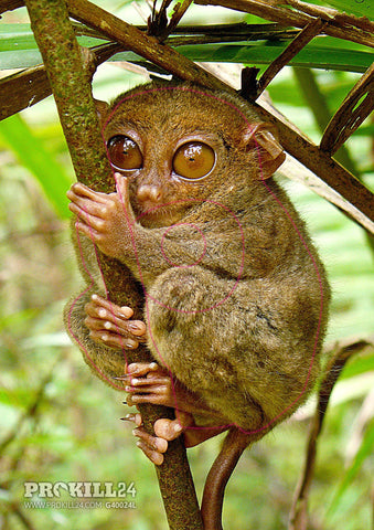 Group 4 Philippine Tarsier